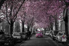 Bonn-Kirschbluete-10 (kurvenalbn) Tags: deutschland bonn pflanzen blumen nordrheinwestfalen frühling kirschbluete
