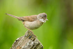 Whitethroat (Andrew Haynes Wildlife Images) Tags: bird warwickshire warbler brandonmarsh