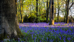 Bluebells at dusk (Gnome Girl!) Tags: uk flowers trees sunset england tree english bluebells forest spring woods pretty purple dusk surrey trunk serene beech beechtree