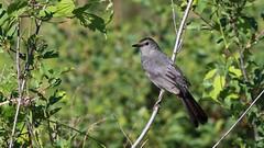 Moqueur chat  /  Gray catbird / dumetella carolinensis (ricketdi) Tags: bird cantley nakkertok catbird moqueur moqueurchat gray graycatbird dumetellacarolinensis explore14juil2016no3 ngc npc