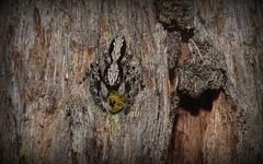 Clynotis severus (dustaway) Tags: nature australia nsw arthropoda arachnida araneae jumpingspiders salticidae spiderwithprey araneomorphae australianspiders northernrivers tullera clynotisseverus tullerapark