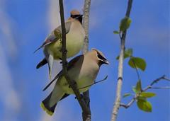Cedar waxwing (Henrietta Oke) Tags: bird nature nikon wildlife feathers cedar waxwing cedarwaxwing nikon5300 20005000mmf56