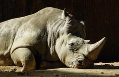 Pedro (chriskatsie) Tags: rhino rhinoceros zoo barcelone soleil couchant lumiere