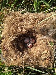 tufted titmouse eggs & nest (gretchen dowling) Tags: tuftedtitmouse morrisarboretum nestingbird