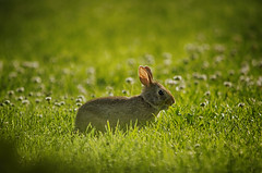 At the Salad Bar (flashfix) Tags: flowers summer ontario canada bunny nature field grass animal nikon hare bokeh ottawa mothernature 2016 d7000 55mm300mm 2016inphotos july122016