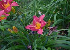 Singled Out (BKHagar *Kim*) Tags: flowers flower nature yard garden al lily blossom outdoor alabama lilies bloom tanner bkhagar