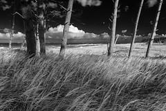 Dnenlandschaft (Petra R.) Tags: trees sea bw seascape nature strand landscape meer monochrom ostsee darss dnen einfarbig