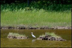 2016-07-17 Rachael Carson NWR (51) (Paul-W) Tags: vacation birds river march marine walk maine wells hike estuary trail saltmarsh saltpan 2016 rachelcarsonnationalwildliferefuge