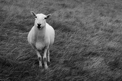 What are ewe looking at (jakeskitt) Tags: nature ewe wildlife brecon beacons life sheep wool lamp nikon moody mintsauce wild wilderness mountain