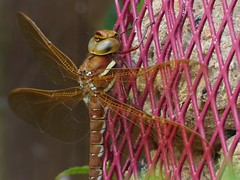 Brown Hawker (Female) (ukstormchaser (A.k.a The Bug Whisperer)) Tags: uk brown macro animal animals closeup insect fly afternoon dragonflies dragonfly wildlife july insects flies perched hawker hawkers