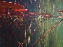 Altenburg (Harald Reichmann) Tags: wasser pflanze system teich muster niedersterreich waldviertel ordnung verbindung seerose stengel unterwasser netzwerk altenburg verzerrung organisch stngel anordnung stiftaltenburg