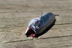 Mackerel (Dolores Harvey) Tags: fish canada mackerel wharf d800 woodypoint foragefish doloresharvey canvassingtheneighbourhood canvassingtheneighbourhoodcom canvassingtheneighbourhoodphotography