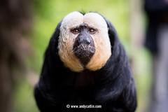White-Faced Saki Monkey (Mr Andy J C) Tags: 22july2016 animal edinburgh edinburghzoo zoo scotland unitedkingdom whitefacedsakimonkey sakimonkey monkey