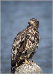 Bald Eagle - Juvenile (TDJenkins) Tags: bird newjersey eagle baldeagle raptor eastpoint cumberlandcounty