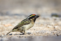 Acacia Pied Barbet (richardkt4545) Tags: acacia pied barbet red headed finch tree wildlife nature bird couple desert desertbird etosha namibia africa afrika animal outdoor feather seed eater