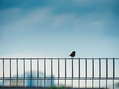 Bird and blue sky (crystalpenelope) Tags: olympus omd em5 em5mii em5m2 em5markii singapore blue sky clouds bird gradient fence lines wildlife sparrow shape