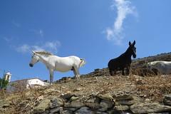 IMG_0221 (john blopus) Tags: tinos   hellas greece island   cyclades  horse