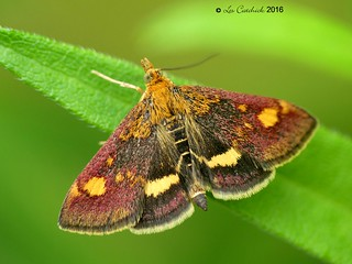 Pyrausta aurata (mint moth)