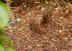 Satin Bowerbird bower (Daniela Parra F.) Tags: bowerbird birds satinbowerbird aves rainforest subtropicalrainforest springbrook southeastqueensland outdoors wild wildbirds nature nationalpark naturephotography native australia australianwildlife aussiebirds bird bower