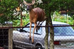 DSC_6869d (davids_studio) Tags: deer backyard city urban foraging sunday morning
