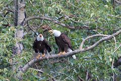 Family Squabble (Bill McBride Photography) Tags: bird avian raptor eagle bald couple pair cooperlanding ak alaska july 2016 nature wildlife haliaeetusleucocephalus canon eos 70d ef100400l