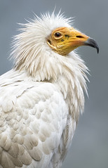 Egyptian Vulture (San Diego Zoo Global) Tags: animals nature birds vulture sandiegozoo safaripark