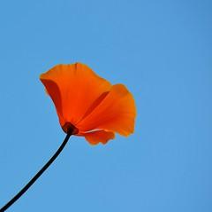 Solo (Edinburgh Photography) Tags: nature outdoors poppy flower water leith nikon d7000 orange
