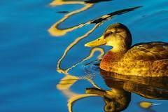 Sunrise Mallard (Brant He. Fageraas) Tags: mallard bird nature oslofjorden norway reflections sunrise colorful canon duck sea