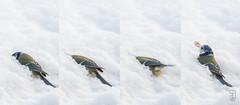 LOST and FOUND! (Blue Tit - Cyanistes caeruleus) (Stein Arne Jensen) Tags: adult alitoaigaccet bird blaumeise bluetit blmeis buskerud canon70d canonef100400f4556lisusm chapimazul cyanistescaeruleus europa europe foringsplass fugl herrerillocomn kongsberg kongsgrdmoen msangebleue norway pajaro spurvefugler steinarnejensen thefeedingplace vogel ihagen inmygarden lintu oiseau passereaux passeriformes passerines perchingbirds singvgel songbirds