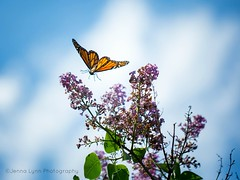 Fluttering Butterfly (jenna.lindquist) Tags: butterfly flying fluttering lilac flower flowers fly nature