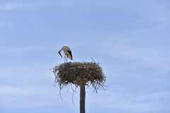 Stork (vaferrei) Tags: stork bird nest nature animal sky blue black white wood sticks vaferrei nikon d7200 dslr 18105