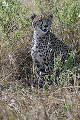 Ghepardo, Cheetah, Acinonyx jubatus (paolo.gislimberti) Tags: tanzania serengeti africanmammals africanparks parchiafricani mammiferiafricani felini felines carnivori flesheatinganimals predatori predators animaliambientati animalsintheirenvironments savana savanna mimicry mimetismo