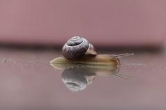 Snail (peeteninge) Tags: snail slak animal pink dieren roze animals nature natuur outdoor mirror spiegel