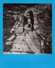 Ivan, August 12, 2016 (EllenJo) Tags: colorframe polaroid 600 polaroid600 impossibleproject theimpossibleproject blackandwhite bw august12 2016 ellenjo august instantfilm polaroidjobpro bostonterrier dog pet ivan handsome age12 bornin2004 olddog oldboston