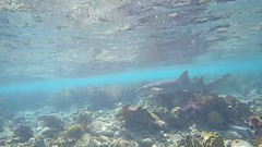 Nurse Shark (MyFWCmedia) Tags: shark nurseshark underwater snorkel fwc myfwc myfwccom wildlife florida floridafishandwildlife conservation johnpennekamp keylargo flkeys floridakeys floridastateparks johnpennekampcoralreefstatepark park pennekamp lovefl