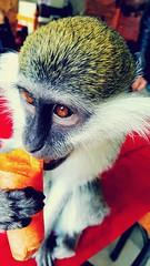 His name is GRUMPY! (seydayldrm) Tags: animals animal monkey grumpy carrot mascot