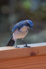 IMG_6368 (armadil) Tags: backyard bird birds jay jays scrubjay scrubjays
