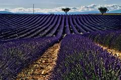 More Fields (Don Csar) Tags: valensole france francia europa europe lavenderfields camposdelavanda flores olor smell lines hileras lineas campo field cosecha morado blue purple purpura