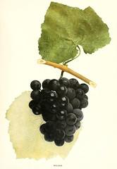 n646_w1150 (BioDivLibrary) Tags: newyorkstate viticulture vitis newyorkbotanicalgardenluesthertmertzlibrary bhl:page=6366656 dc:identifier=httpbiodiversitylibraryorgpage6366656 wildergrape