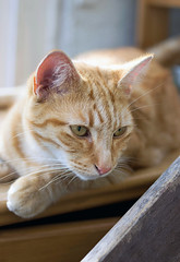 Cat's concentration (scbeck11) Tags: eyes whiskers ginger red portrait