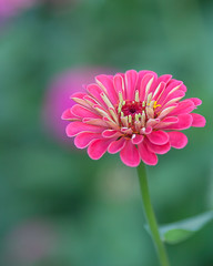20150920_garden flowers_1583 (zoomclic) Tags: canon closeup colorful 5dmarkii ef200mmf28lusm flower foliage zinnia nature dof dreamy plant pink green garden zoomclicphotography