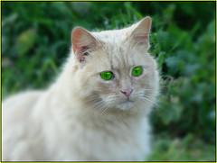 Solo tu.. (antonè) Tags: cat chat micio erba occhi coloniafelina portoconte alghero sardegna randagio antonè