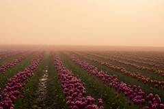 Rows Leading Ever Onward (gwendolyn.allsop) Tags: pink red mist colors fog washington spring tulips rows