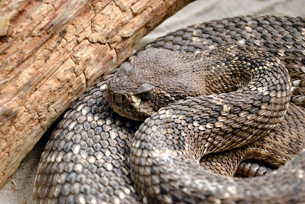 Crotal Diamantin the world's best photos of crotale and crotalus - flickr hive mind