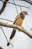 "Rufous Magpie <a style=""margin-left:10px; font-size:0.8em;"" href=""http://www.flickr.com/photos/41134504@N00/16995737040/"" target=""_blank"">@flickr</a>"