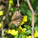 Juvenal's duskywing on buttercup