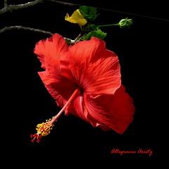 hibisco/Hibiscus (Altagracia Aristy) Tags: blackbackground amrica dominicanrepublic hibiscus hibisco tropic caribbean antilles laromana cayena caribe repblicadominicana fondonegro carabe trpico antillas sfondonero altagraciaaristy fujifilmfinepixhs10 fujihs10 fujifinepixhs10