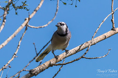 May 11, 2015 - A watchful Blue Jay at an Adams County open space area. (Tony's Takes)