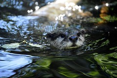 Emerged (_DSC0824) (katalin_kerekes) Tags: water play otter asiansmallclawedotter otterfamily aonyxcinereus smithsoniansnationalzoo