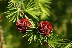 Larix gmelinii var. olgensis (xerantheum) Tags: trees plants minnesota landscape arboretum larch larix gmelinii olgensis